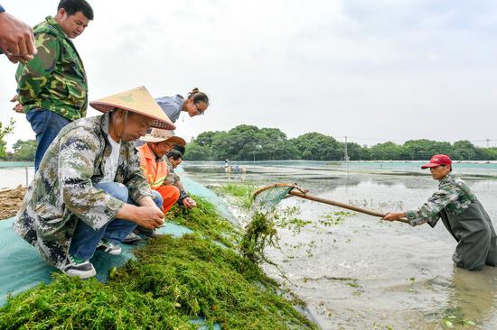志愿者在七斗漾合作社基地指導幫扶對象怎樣培育河蟹水草  譚云俸 攝