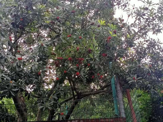 楊梅種植基地。 胡丁于供圖