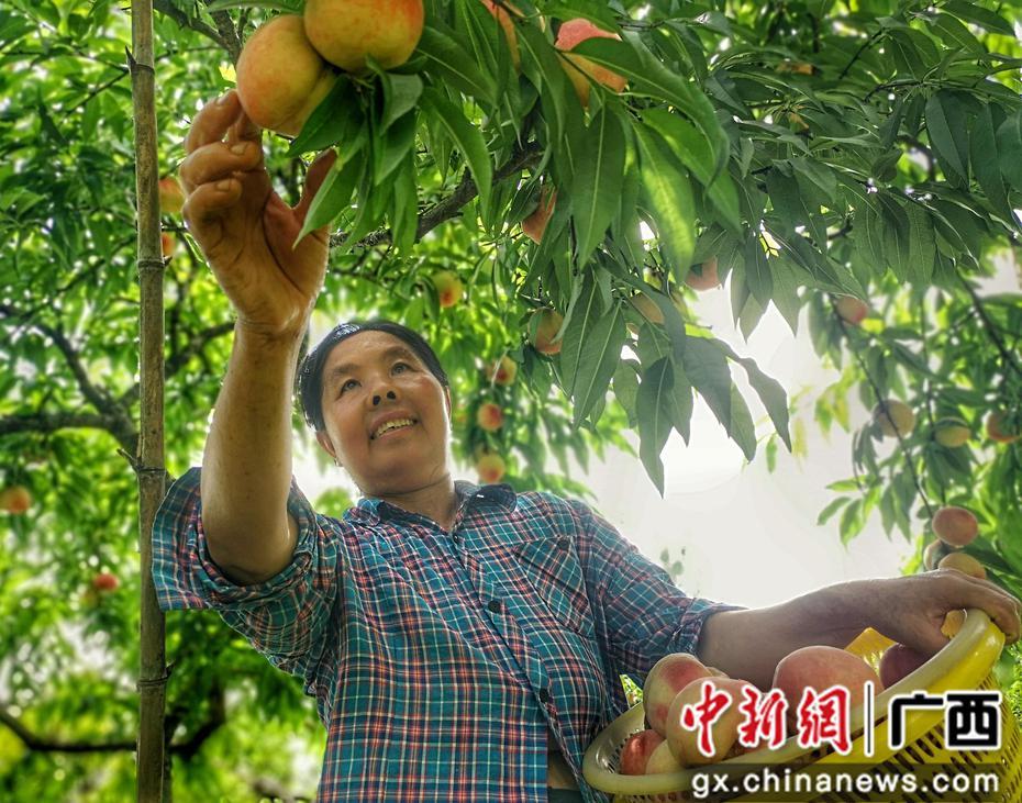 廣西桃李豐產上市 帶動貧困戶脫貧致富