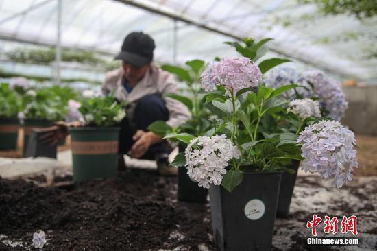 6月23日,贵州省铜仁市沿河自治县中界镇高峰村有机生态农业产业园,工人管护的花卉。中新社记者 瞿宏伦 摄