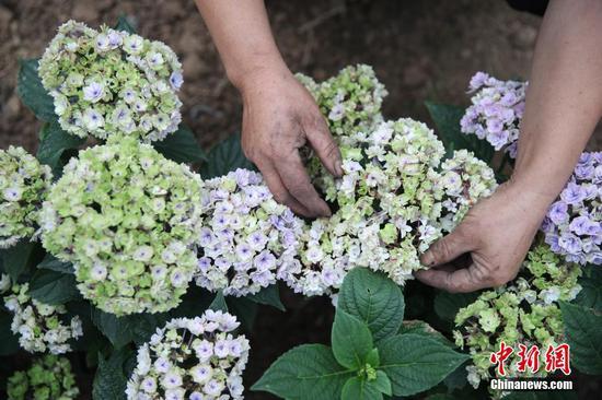 6月23日,贵州省铜仁市沿河自治县中界镇高峰村有机生态农业产业园,工人在大棚内整理花卉。 中新社记者 瞿宏伦 摄