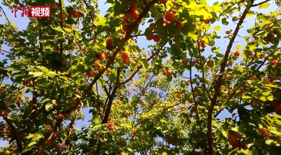 """新疆的""""杏花村"""":杏子产业助当地农民脱贫增收"""