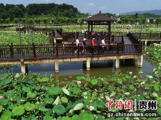 2020年6月26日,贵州省毕节市金沙县西洛街道群立社区千亩荷花相继盛开,吸引游客观光。  史开心 摄