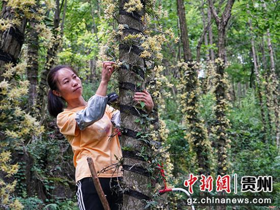 贵州省岑巩县大有镇木召村,村民在采摘铁皮石斛花  万再祥摄