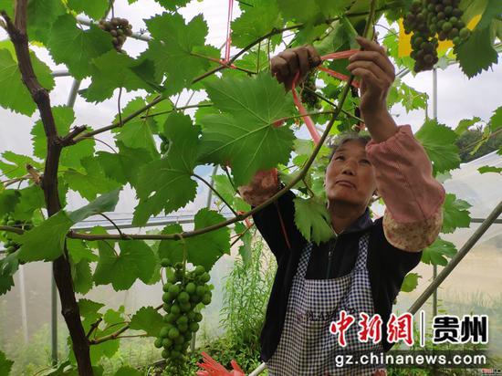 农户在挂打理葡萄。 石小杰摄