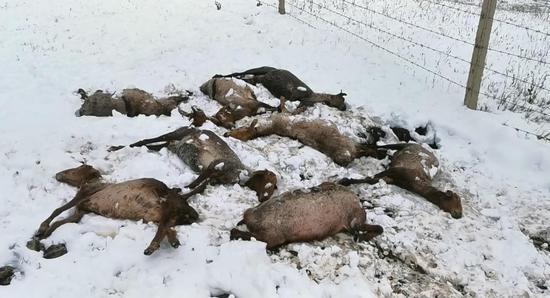 ?新疆特克斯县强降雪天气致牧民受灾 造成494头牲畜死亡