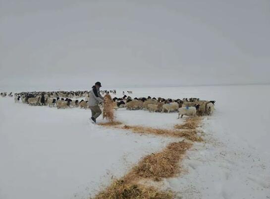 巴音郭勒乡巴音郭楞村党支部书记为羊群备草料(新巴依尔摄)