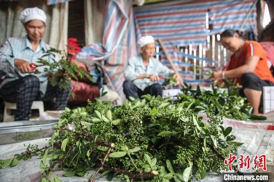 7月6日,待修剪的花椒。 瞿宏伦 摄