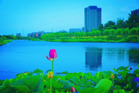 夏日新疆庫爾勒杜鵑河濕地生態公園碧水秀荷美如畫(圖)