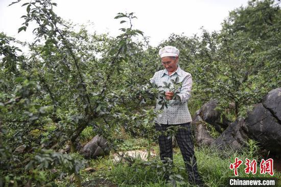 7月6日,贵州务川,丹砂街道洪渡河社区半坡组的农户在采收花椒。 瞿宏伦 摄