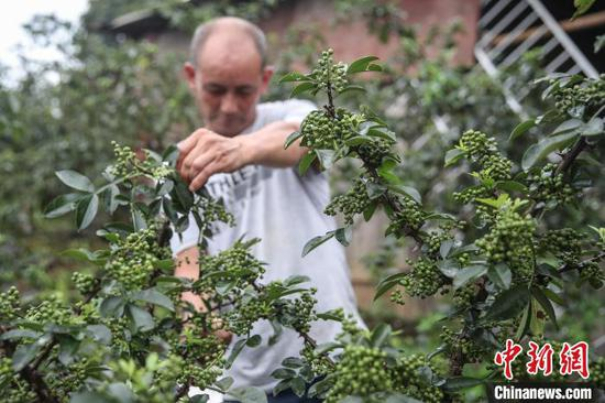 7月6日,贵州务川,丹砂街道洪渡河社区半坡组种植的花椒。 瞿宏伦 摄