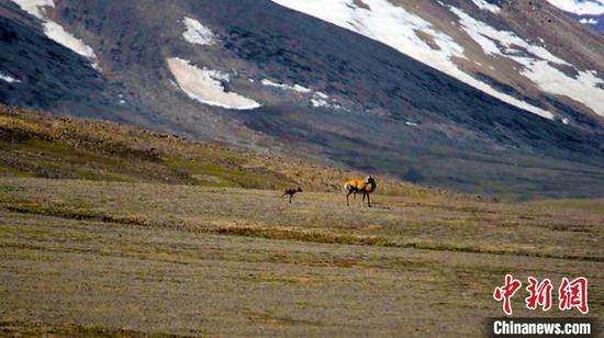 新疆阿爾金山國家級自然保護區兩萬余頭藏羚羊進入產羔季