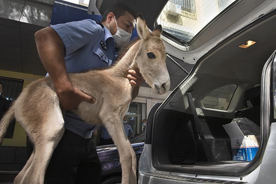 克拉瑪依市警民接力救助國家一級保護動物小野驢