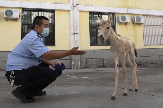 民警悉心照顧小野驢。閔勇 攝