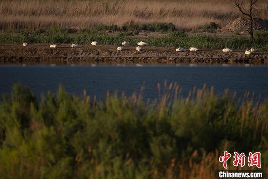 新疆克拉玛依市古海生态公园再迎天鹅群歇脚