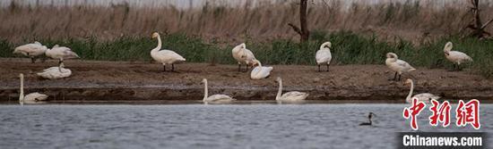 10余只白天鵝在新疆克拉瑪依市區南郊的古海生態公園水域歇腳?!¢h勇 攝