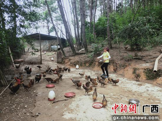 陸樹姣在給小雞喂食。