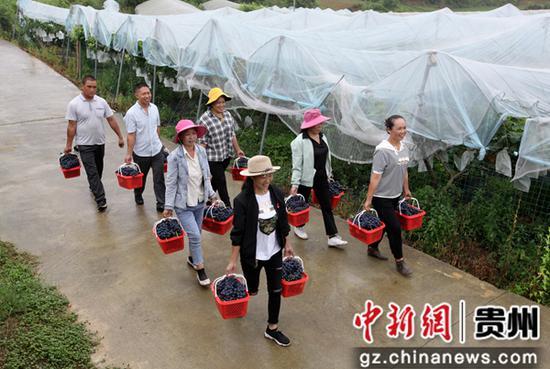 2020年7月10日,贵州省毕节市黔西县金碧镇新兰村,村民和游客采摘夏黑葡萄。史开心 摄