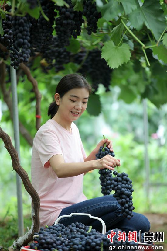 2020年7月10日,贵州省毕节市黔西县金碧镇新兰村,游客采摘夏黑葡萄。史开心 摄