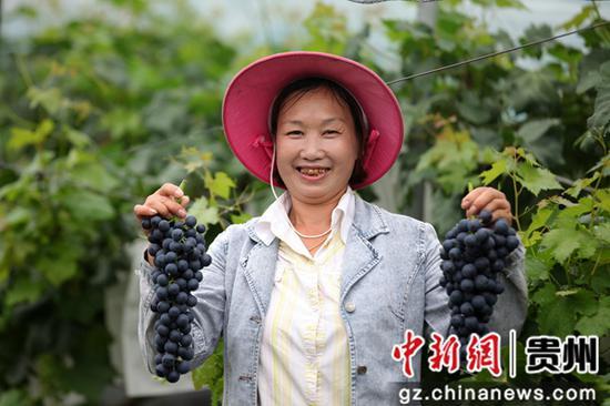 2020年7月10日,贵州省毕节市黔西县金碧镇新兰村,村民展示夏黑葡萄。史开心  摄