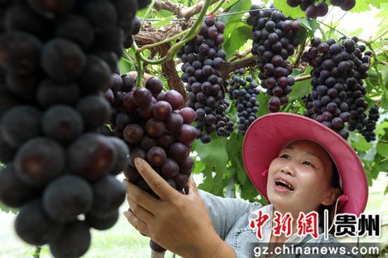 2020年7月10日,贵州省毕节市黔西县金碧镇新兰村,村民采摘夏黑葡萄。史开心 摄