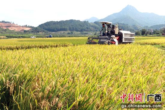 广西桂林平乐县:稻谷飘香收割忙