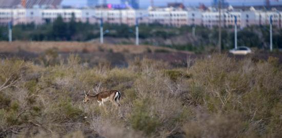 鵝喉羚覓食西戈壁