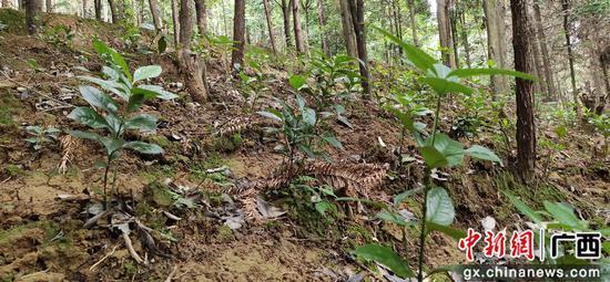 林下种植草珊瑚 广西融水民众脱贫致富