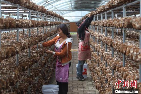 村民在食用菌大棚里务工。 岳旺 摄