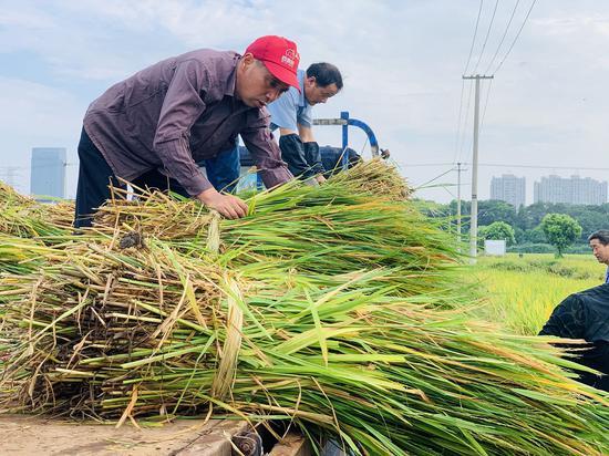 农民收割稻谷。 吴兴刚 摄