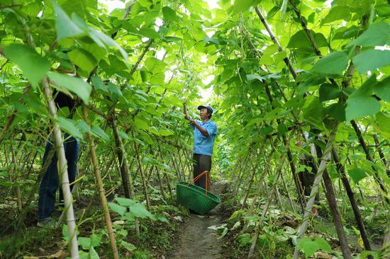 石塔底自然村村民种植高山蔬菜 衢江传媒集团提供