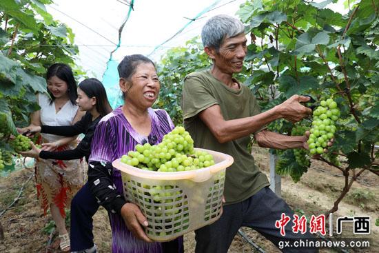 广西平乐县特色种植助农稳产增收