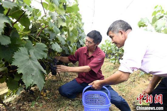 图为村民在采摘葡萄。肖雄 摄