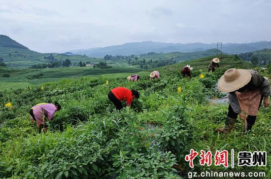 大壩村村民在辣椒基地管護除草 吳守良 攝