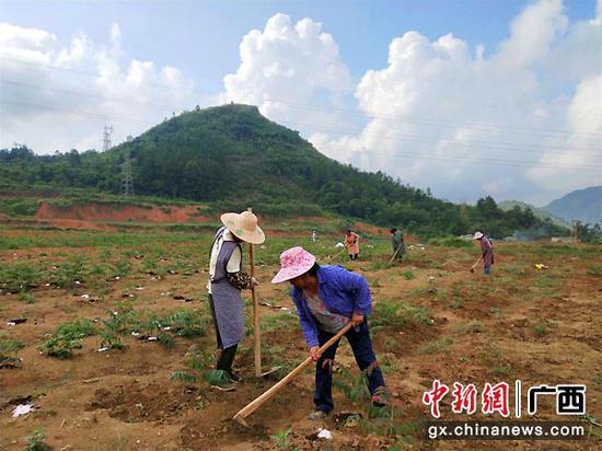 靖西:荒坡种香椿 绿了山头富了村