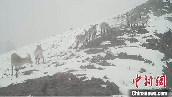 新疆阿爾金山國家級自然保護區監測員拍攝到雪豹活動影像