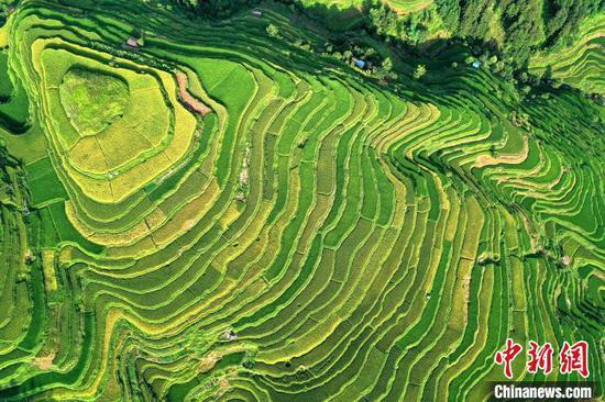 贵州省从江县丙妹镇岜沙村梯田(无人机照片)。 吴德军 摄