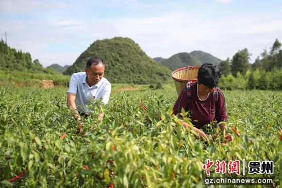 贵州汇川团泽镇农户正在采摘辣椒。 瞿宏伦 摄
