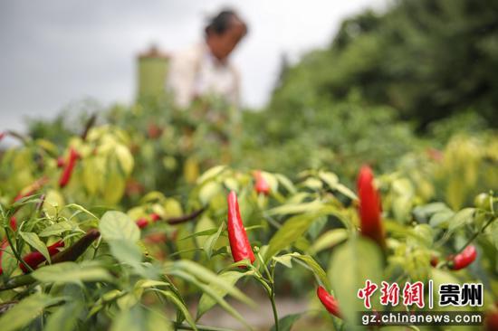 贵州汇川团泽镇待采的辣椒。 瞿宏伦 摄
