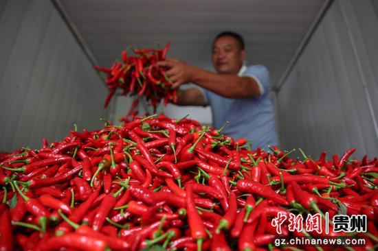 贵州汇川团泽镇农户在整理待烘干的辣椒。 瞿宏伦 摄
