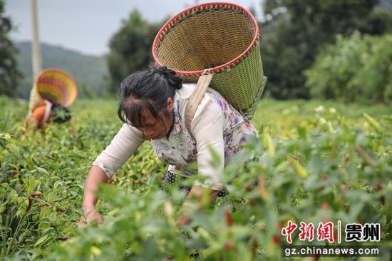 贵州汇川团泽镇农户在采摘辣椒。 瞿宏伦 摄