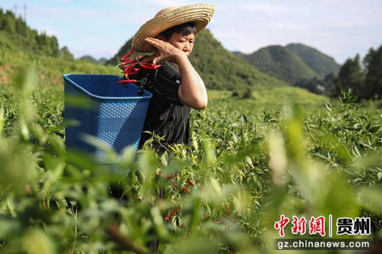 贵州汇川团泽镇农户正在采摘辣椒中。 瞿宏伦 摄