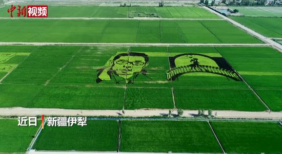 新疆伊犁稻田绘制钟南山画像 致敬抗疫英雄