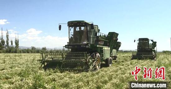 """防疫生产""""两不误"""" 新疆700亩洋甘菊开始收割"""