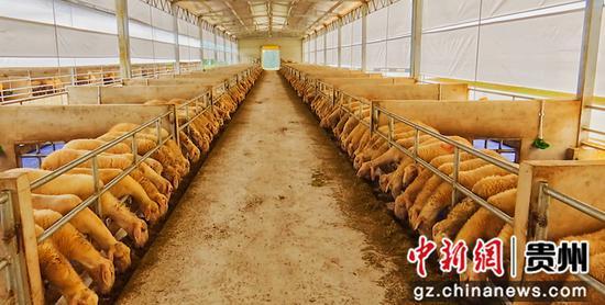 岑巩县湖羊养殖基地