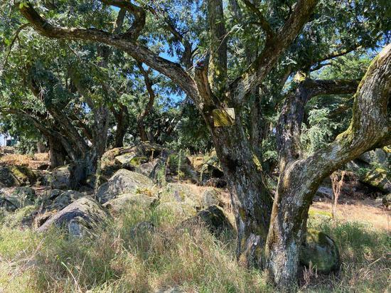 香榧树与巨石阵相依。 项菁 摄