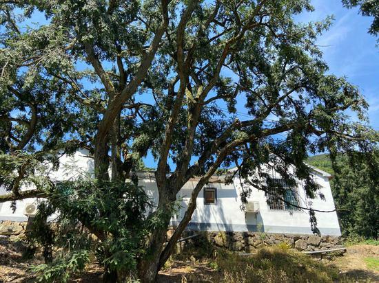 家门口的香榧树。 项菁 摄