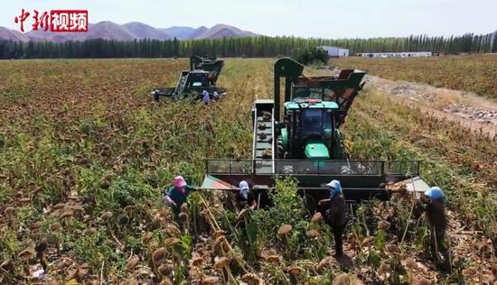 新疆玛纳斯万亩向日葵丰收 机械化收割助力农民增收