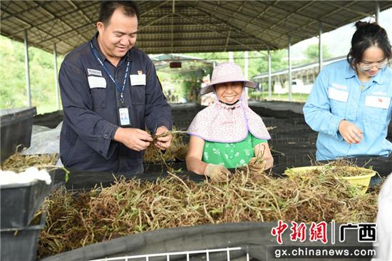 广西邕宁:可靠电力助铁皮石斛产业走向现代化