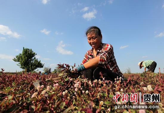 村民忙着采收头花蓼。